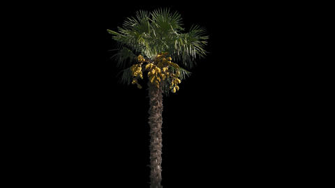 Palm Isolated Tree Footage