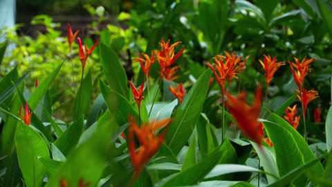 Bird of paradise flower in the garden Footage