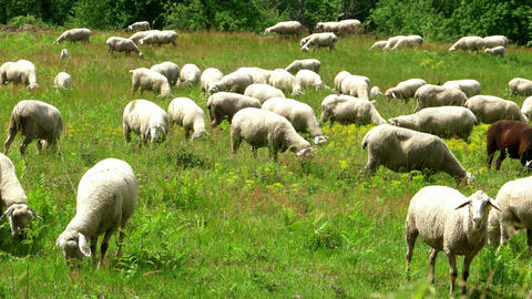Herd of sheep along the long-distance hiking trail Neckarsteig Footage