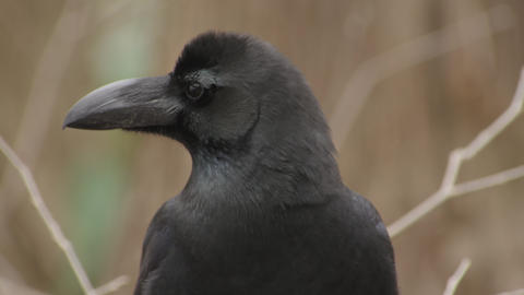 Japanese crow Live Action