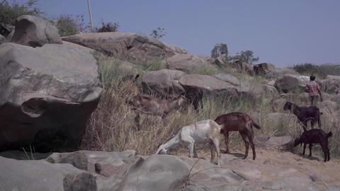 Hampi goats Footage