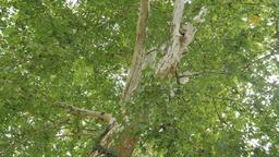 Plane tree. Platanus Footage