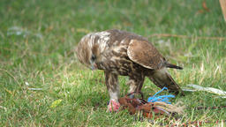 Saker falcon is eating raw meat. Falco cherrug. Bird of prey Live Action