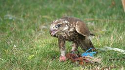 Saker falcon is eating raw meat. Falco cherrug. Bird of prey Footage