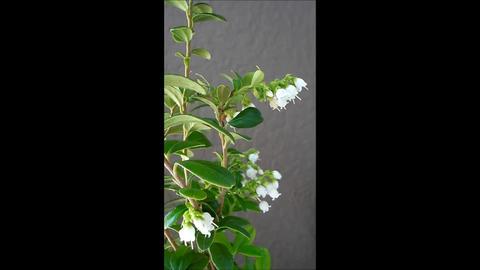 Lingonberry blooming season ライブ動画