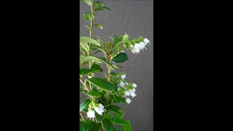 Lingonberry blooming season Footage