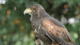 Harris hawk. Parabuteo unicinctus. Bird of prey Live Action