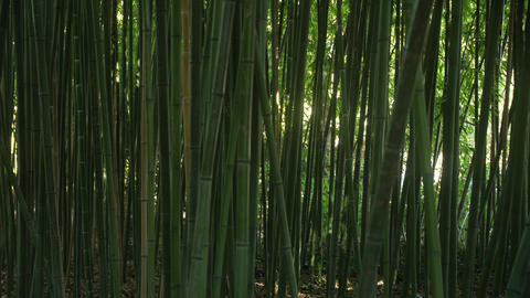 Background of green slender bamboo stalks with glimpses of light behind them Live Action