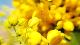 Close up of colored flowers of canola. Blooming yellow flower. Soft bright Footage