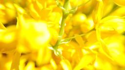 Blooming canola field. Rape on the field in summer Stock Video Footage