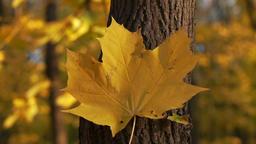 Slowmotion - fall leaf on the tree Footage