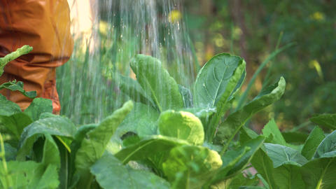 Gardener watering vegetable in vegetable garden Footage