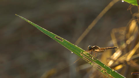 Dragonfly stay on grass leaf at rice farm Footage