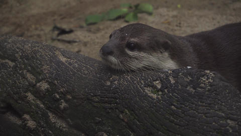 Otter getting exciting with people around the zoo Footage