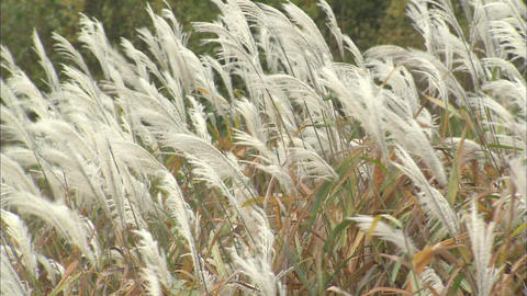 Japanese pampas grass Live Action
