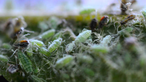 Green aphids macro Live Action