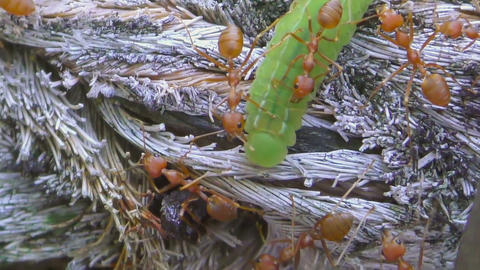 Red ants and green larvae Footage