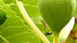 Hunting fly at a Fig Footage