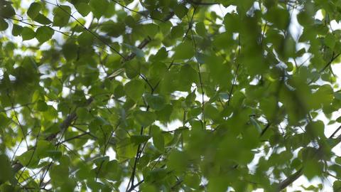 4K Ungraded: Birch Foliage Sways in Wind Footage