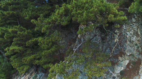 Tree roots growing on the rocks. View Of The Rock. Pines On Rocks. Young Pine Footage