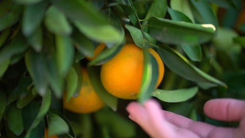 Closeup of juicy tasty oranges hanging on an orange tree. Female hand trying to Footage