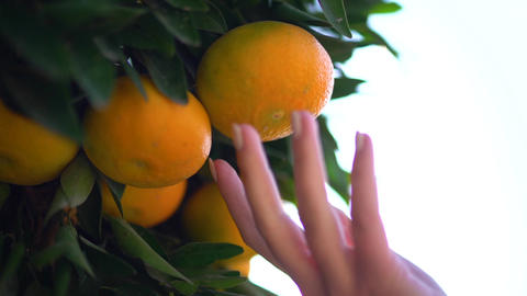 Closeup of juicy tasty oranges hanging on an orange tree. Female hand plucks Live Action