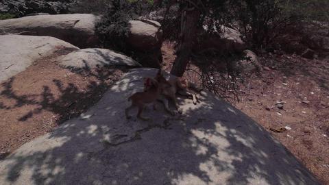 Hampi dog rabies 2 Footage
