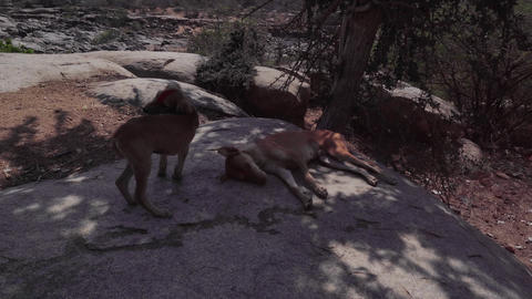 Hampi dog rabies 3 Footage
