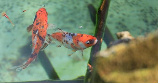 Golden fish in the old vase handheld Footage