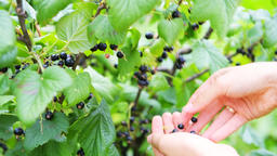Closeup of hands picking black currants from bush in garden Footage