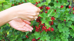 Closeup of hands picking red currants from bush in garden Footage