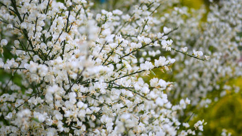 Beauty white flowers in spring close up Footage