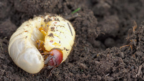 May bug larva in soil Footage