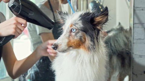 Cute Sheltie puppy getting its fur dried after washing by a professional groomer Live Action