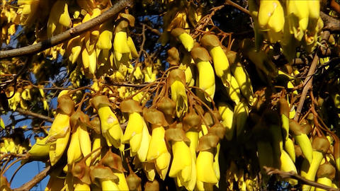 Kowhai flowers. Tilt up Footage