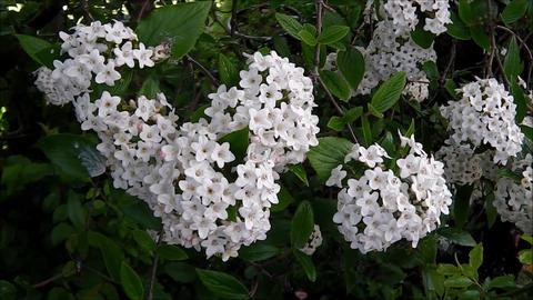 Viburnum flowers Footage
