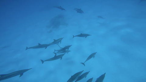 Fantastic dive with dolphins. Diving in the Red sea near Egypt Live Action
