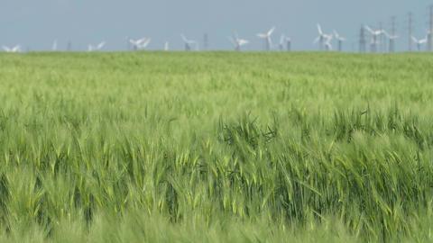 Wind blow green wheat field in background of wind turbine in warm summer day Footage
