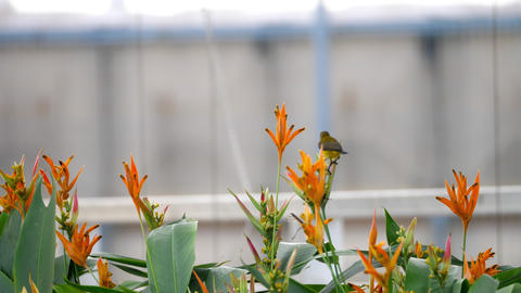 Purple Sunbird on the bird paradise flower Live Action
