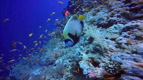 Underwater videographer, takes the Imperial angel fish Footage