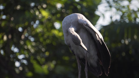 Open-billed stork scratch himself with his beak 2, Slow Motion Footage