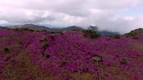 Jindallae Azalea Blooming in Biseul Mountain, Daegu, Soouth Korea, Asia Live Action