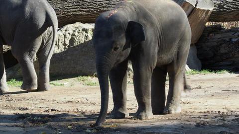 Indian elephant (Elephas maximus indicus). Cute baby elephant Footage