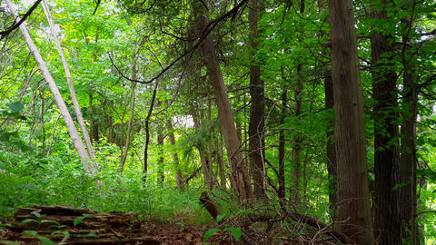 Viewpoint of Green Forest Interior in Day. Lush Trees, Plants, and Leaves Greenery Under Woodland Footage
