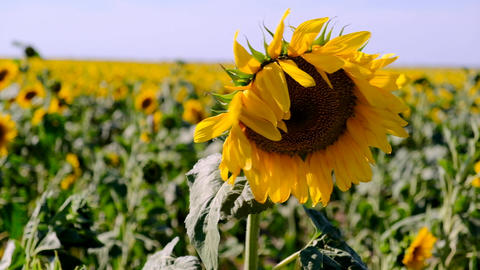 blooming yellow sunflower on a large agricultural field on a summer day Footage