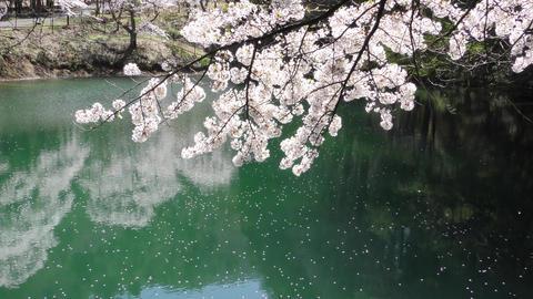 泉と桜と花筏 (塩尻市平出の泉) ライブ動画