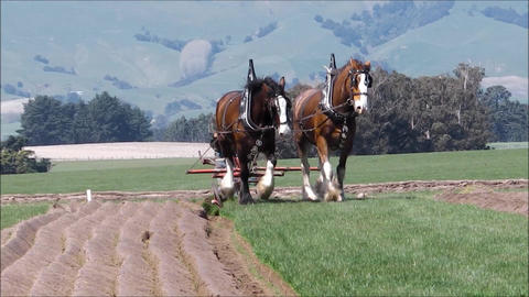 Ploughing with horses 2 Footage