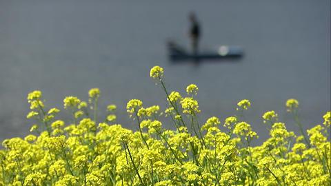 菜の花 山中湖1 Footage