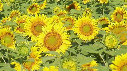 花の都ヒマワリ03 Footage