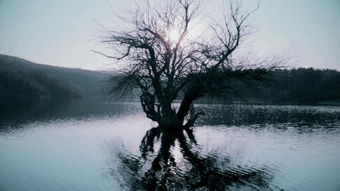Old tree in the water on the lake Footage
